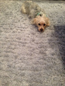 San-Mateo-Dog-carpet-clean